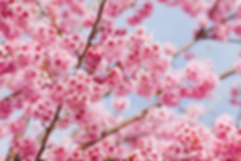 Cherry Blossom 3.png