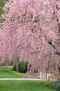 Weeping cherry (Prunus)
