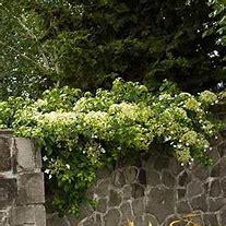 Climbing hydrangea (petiolaris)
