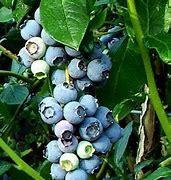 Blueberry (Vaccinium)