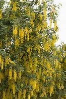 Golden Chain Tree (Labu