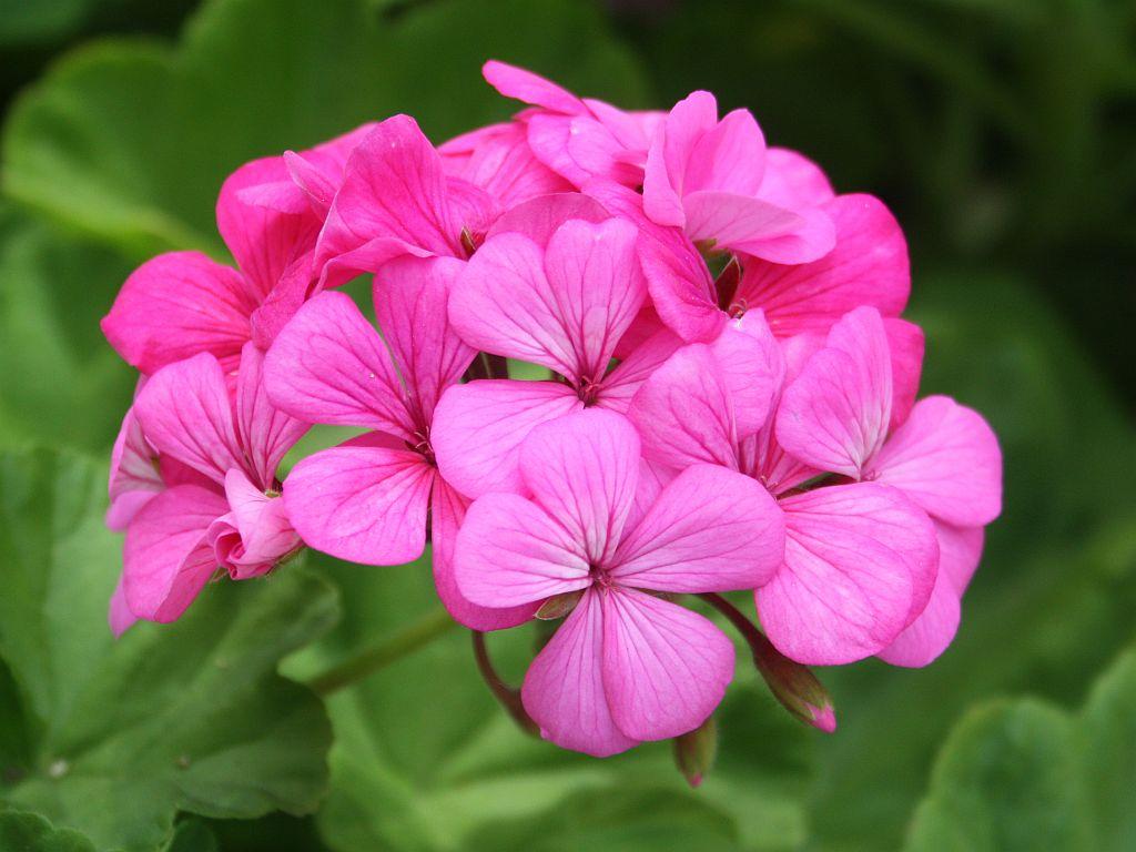 pink-ger.jpg