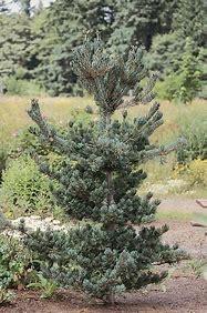 Japanese White Pine (Pinus)