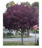 Flowering plum (Prunus)