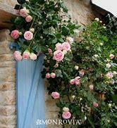 Climbing rose (Rosa)