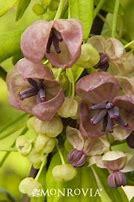 Chocolate Vine (Akebia)