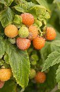 Fall Gold Raspberry (Rubus)