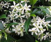 Star jasmine (Trachelospermum)