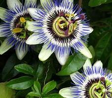 Passionvine (Passiflora)