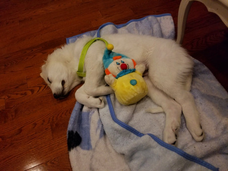 Sleeping puppy after a long hard day playing in the snow