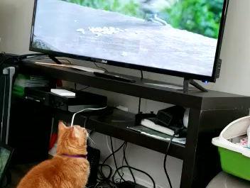 Mr. Tom Jones watching cat TV