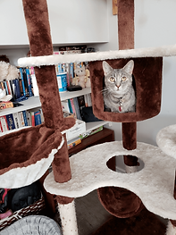 Grace the cat at priority pets cat tree.