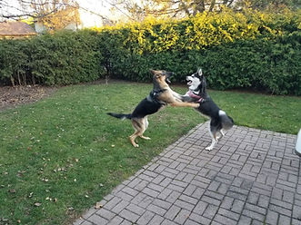 dogs play fighting.jpeg