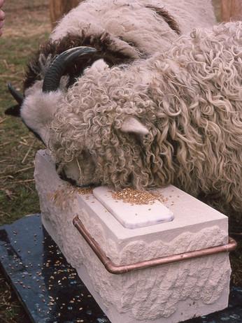 sheep lick