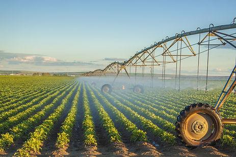 potato field irrigated by a pivot sprink