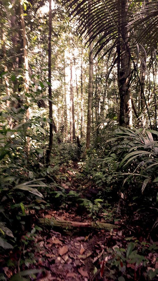 rose66-amazonian-forest-01.jpg