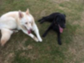 german shepherd and black labrador chilling in park