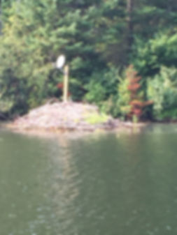 georgian bay beaver nest.JPG
