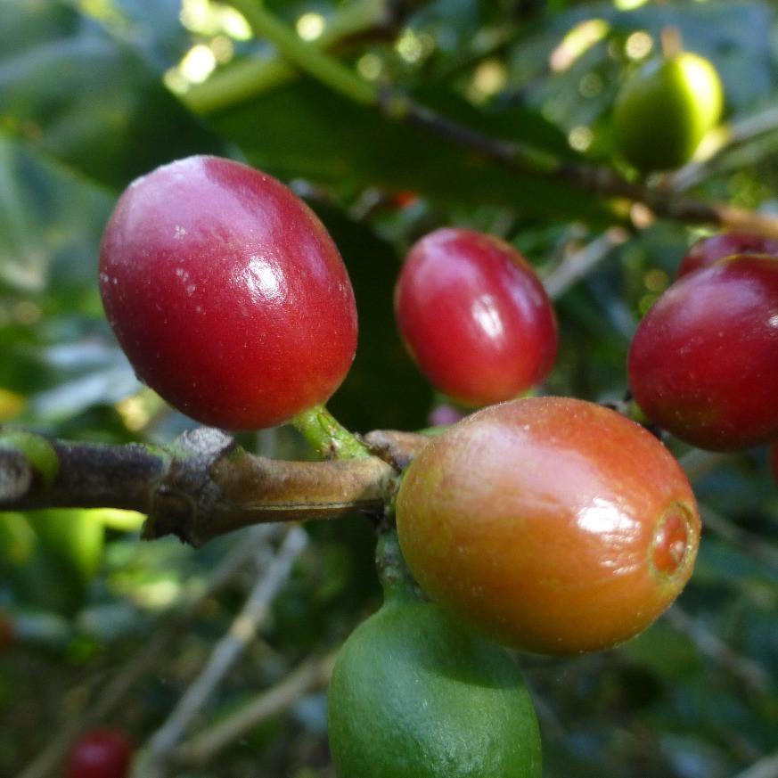 El Salvador Finca Bonanza Coffee