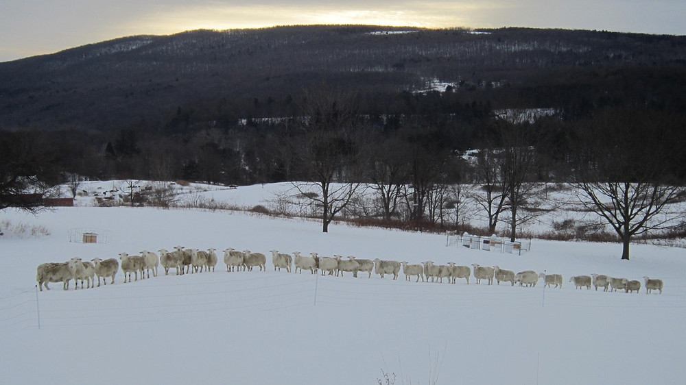 Sheep walking through deep snow in a single file line