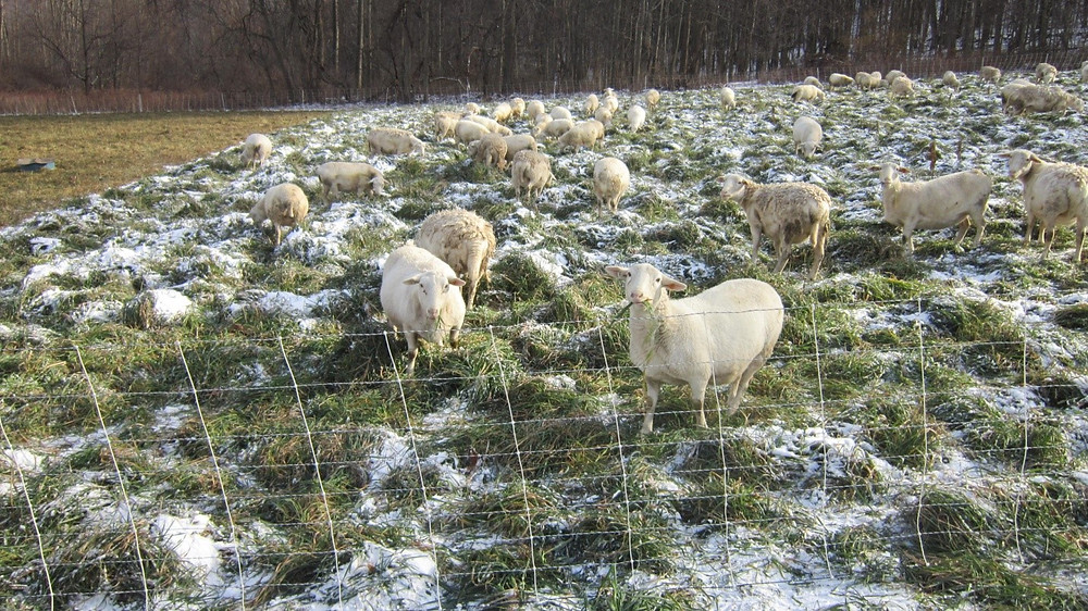 Sheep grazing stockpiled pasture in winter