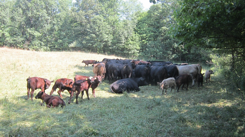 Beef cows and calves clustered together in the shade