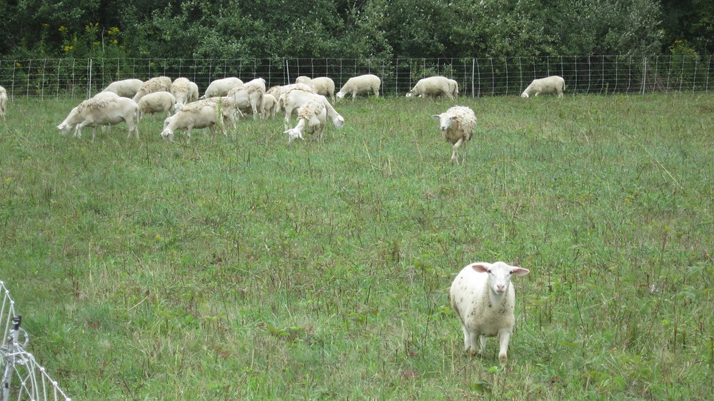 Flock of sheep grazing with one sheep walking toward the photographer