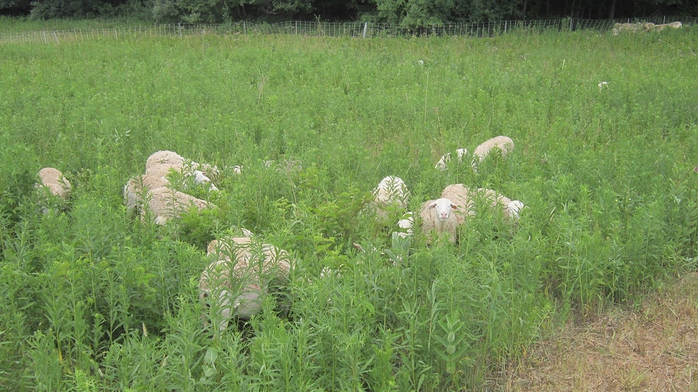 Closer view of sheep grazing in a weedy pasture