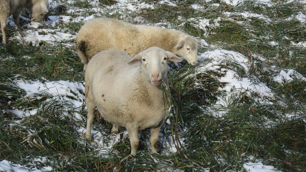 Lamb grazing 16 to 24 inch orchardgrass in winter