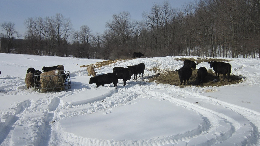 Calves and heifers walk through the snow to reach a fresh bale of hay