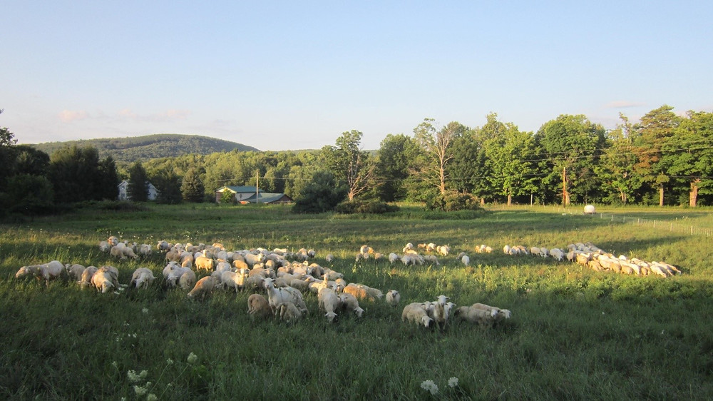 Sheep flock grazing pasture grown back after harvesting hay