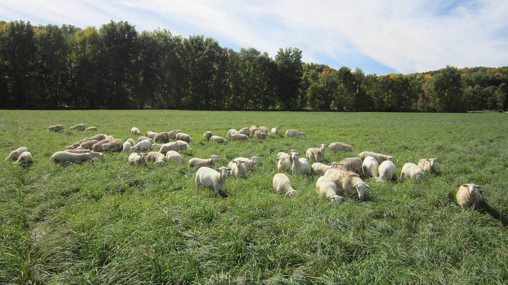 Sheep grazing lush pasture