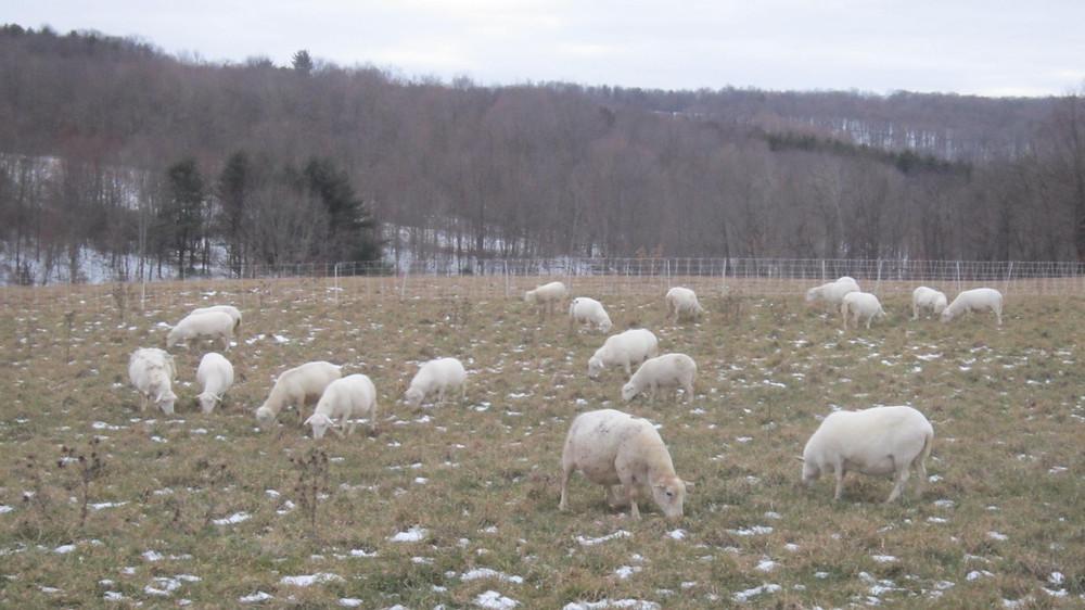 Sheep flock winter grazing