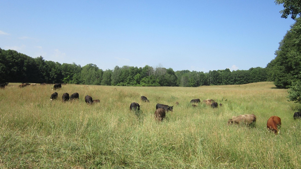Beef cows out grazing in a grassy field