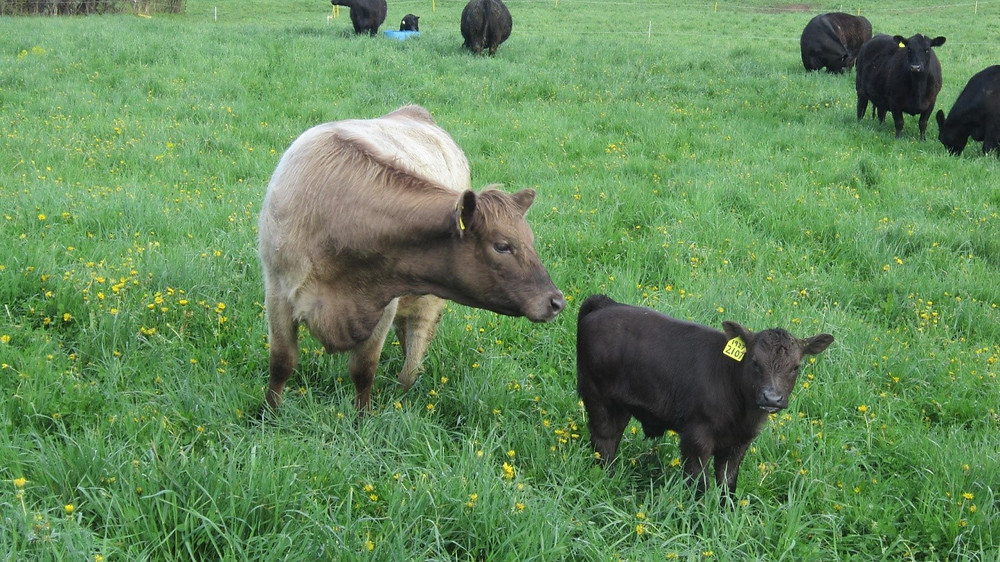 Tan colored beef cow smelling her baby calf.