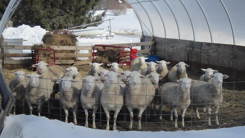 Ewe lambs in the greenhouse
