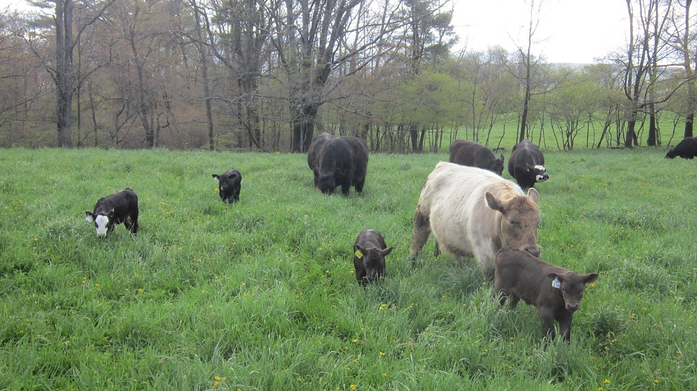 Beef cows and calves grazing on green pasture.