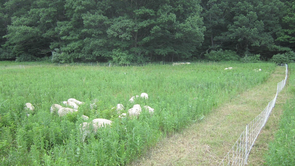 Sheep grazing in a weedy pasture
