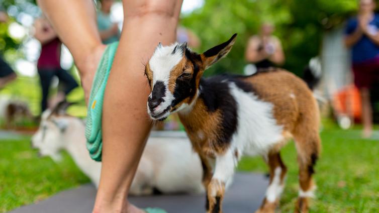 Goat Yoga Near Me | International Goat Yoga Association