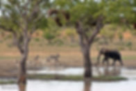 Elephant & Zebra.JPG
