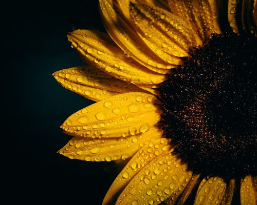 Sunflower at home care