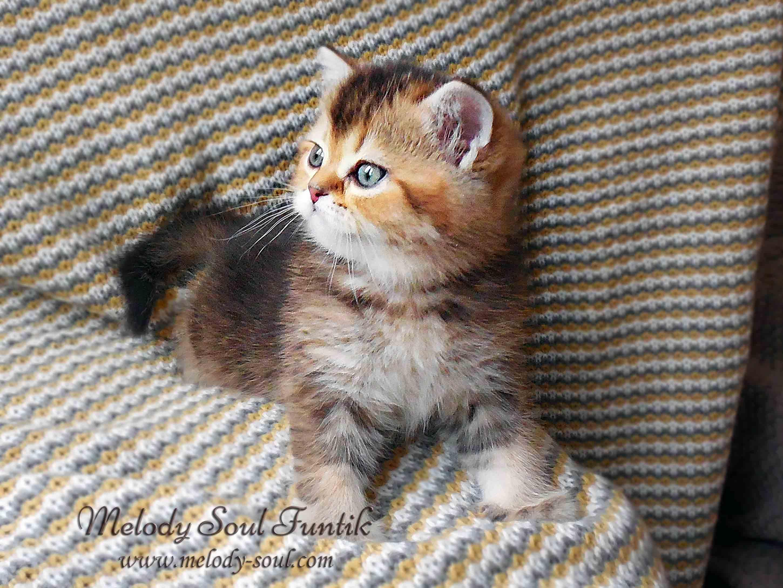 Шотландский короткошерстный котенок