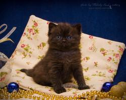 Шотландский прямоухий черный кот