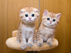 Шотландские котята  золотого окраса