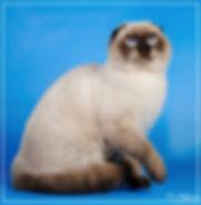 скоттиш фолд (шотландский короткошерстный кот) окрас шоколадный поинт