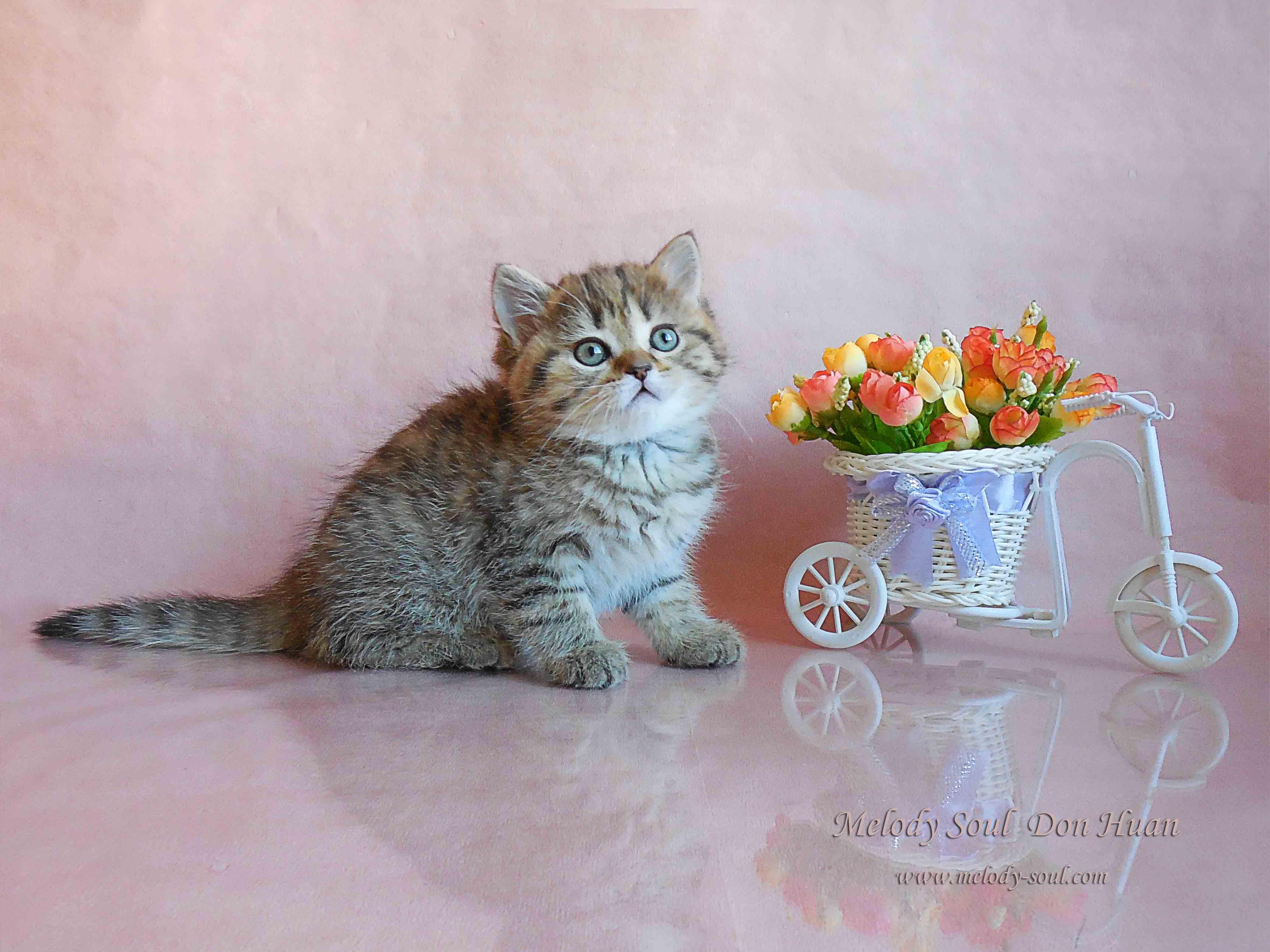 Шотландский короткошерстный котик