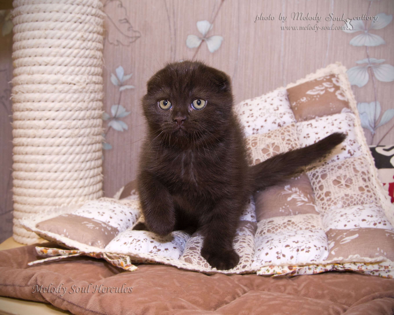 Шотландский вислоухий шоколадный кот
