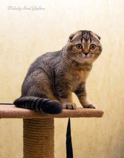 Шотландская вислоухая кошка купить