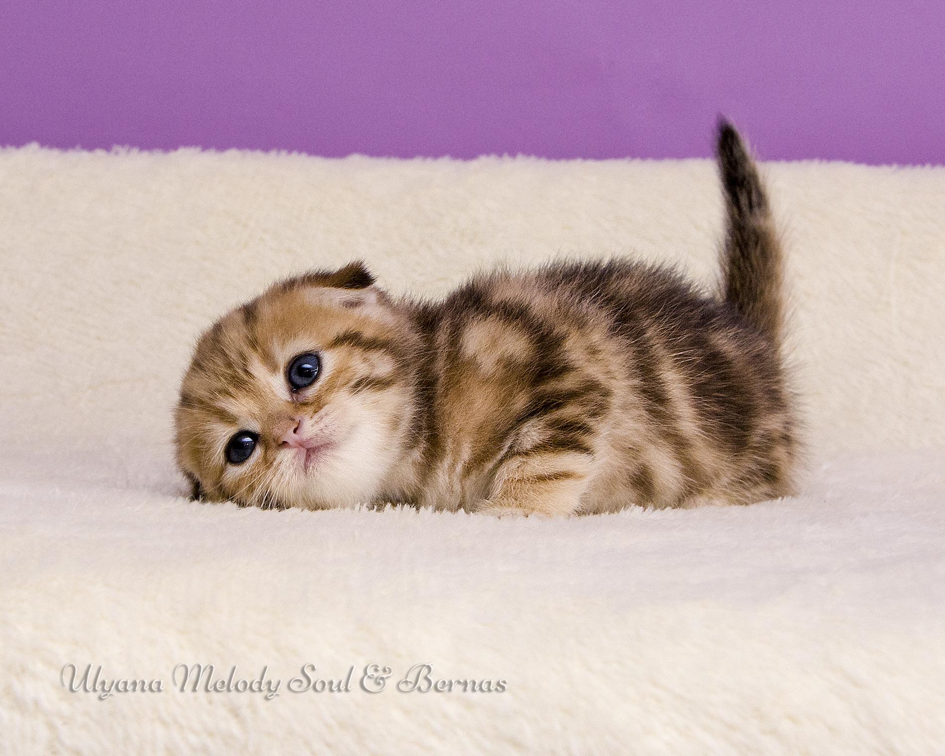 Скоттиш фолд кошка