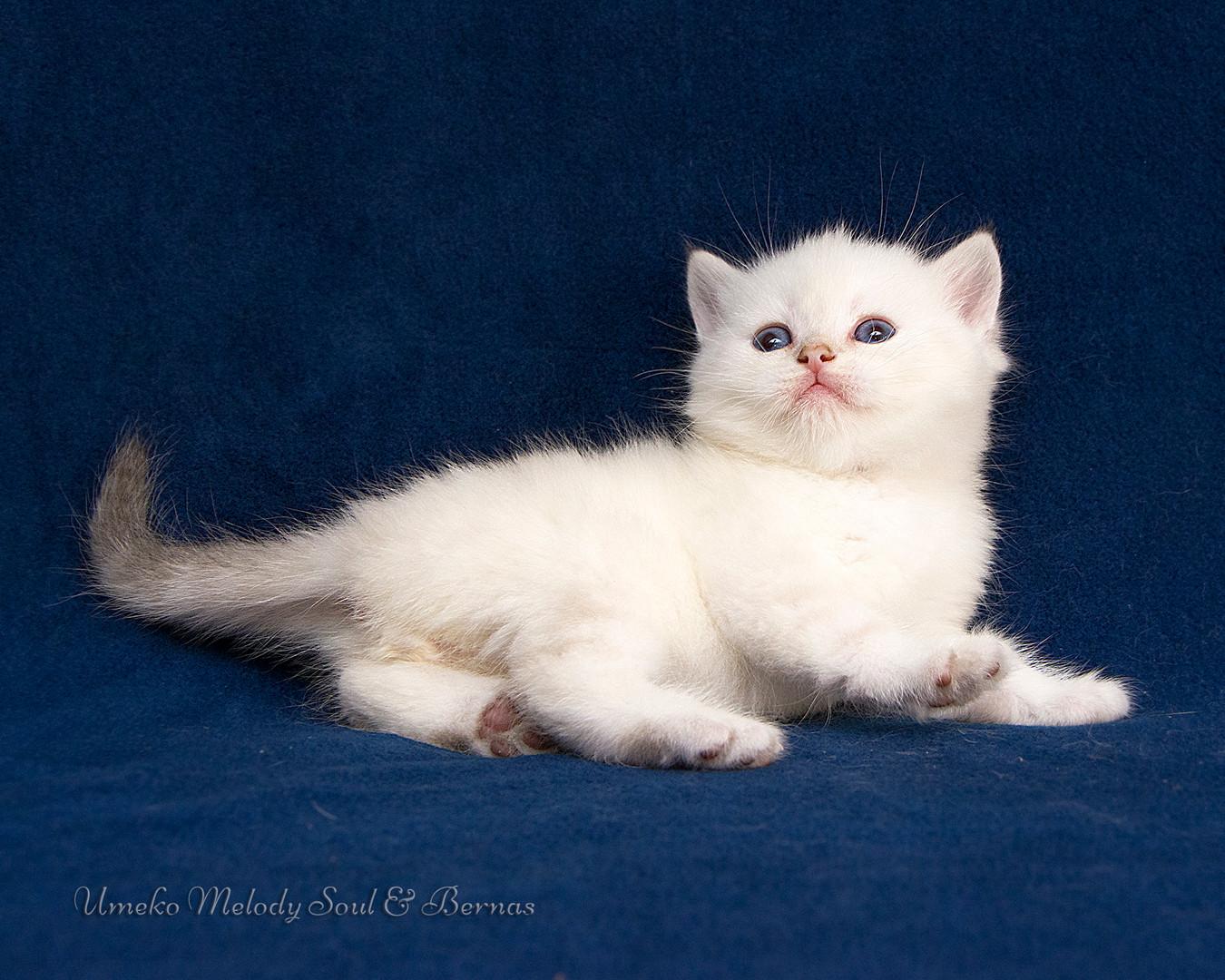 Шотландский короткошерстный кот
